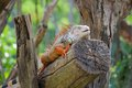Iguana reptile sitting on the tree Royalty Free Stock Image