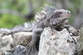 Iguana reptile tropical sitting on rocks Stock Image