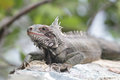 Iguana reptile tropical sitting on rocks Stock Photography