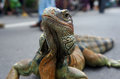 Iguana an reptiles follow a contest in the city of solo central java indonesia Royalty Free Stock Photography