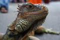 Iguana an reptiles follow a contest in the city of solo central java indonesia Stock Photos