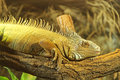 Iguana resting on a branch in terrarium Stock Photos