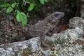 Iguana resting on rock Royalty Free Stock Photo