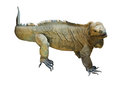 Iguana rhinoceros Royalty Free Stock Photo