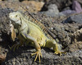 Iguana on the rocks Royalty Free Stock Photography