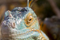 Iguana's head Stock Photo