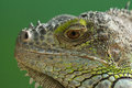 The iguana s head close up on green background Royalty Free Stock Photos