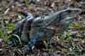 Iguana in Santa Rosa National Park, Costa Rica Royalty Free Stock Photo