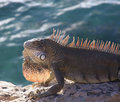 Iguana by sea Royalty Free Stock Photography