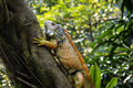 Iguana sitting on thr tree the in singapore zoo Royalty Free Stock Photography