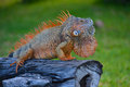 Iguana sitting on a tree trunk in cozumel mexico Royalty Free Stock Images