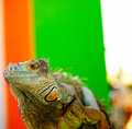 Iguana an staring with beautiful skin texture Stock Photos