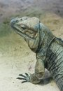 Iguana vensky zoo austria portret of Royalty Free Stock Images