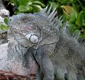 Iguana in the wild Stock Image