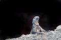 Iguana in the wild with black background Stock Photography