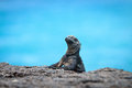 Iguana in the wild with sea background Stock Images