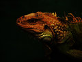 Iguanas are reptiles on a black background Stock Images