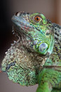 Iguane Photos stock