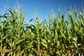 Il raccolto del cereale Immagini Stock Libere da Diritti