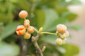Ilex fruit the close up of Royalty Free Stock Images
