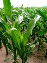 Illinois Corn Royalty Free Stock Photo