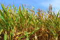 Illinois corn field this is in a godfrey maze Stock Images