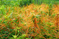 Illinois Prairie Covered with Dodder Royalty Free Stock Photo