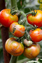 Illness tomato close up of branch of Royalty Free Stock Photo