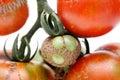 Illness tomato on white background Royalty Free Stock Images