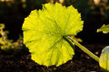 Illuminated big leaf veins closeup Royalty Free Stock Photo