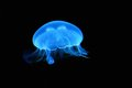 Illuminated blue jellyfish Royalty Free Stock Photo