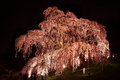 Illuminated cherry tree in Fukushima, Japan Royalty Free Stock Photo