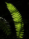 Illuminated Fern Stock Image