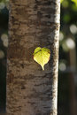 Illuminated leaf in a trunk Royalty Free Stock Photo