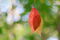 Illuminated by the sun hanging red leaf closeup Royalty Free Stock Photo