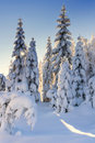 Illuminated by the sun snow-covered spruce trees and larches Royalty Free Stock Photo