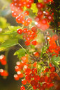 Illuminated by sunlight redcurrant berries Stock Photography
