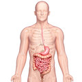 Illustration of anatomy of human stomach with body Royalty Free Stock Images