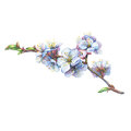 Illustration of apricot branch with flowers.