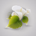 Illustration of calla flowers vector Stock Image