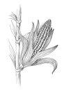 Illustration of corn grain stalk sketch Royalty Free Stock Photo