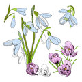 Illustration of drawing sketch of snowdrop. First Galanthus. Graphic design isolated objects for spring. Blossoming