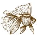Illustration of engraving goldfish on white background Royalty Free Stock Photo