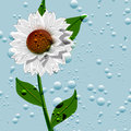 Illustration fontvieille chamomile flowers water droplets Royalty Free Stock Image