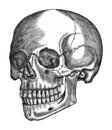 Illustration of human skull isolated on white background