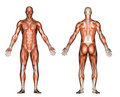 Illustration - Male Anatomy Royalty Free Stock Photos