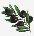 Illustration of an olive branch Stock Photography