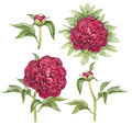 Illustration of peony flowers watercolor Stock Images