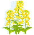 Illustration rapaseed flowers white background eps Stock Image