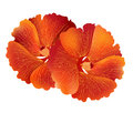Illustration  of red hibiscus flower  on white background Royalty Free Stock Photo